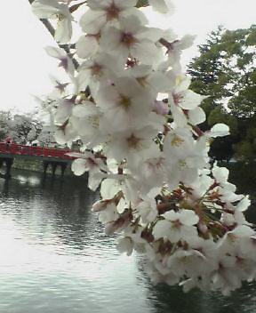 小田原でお花見♪